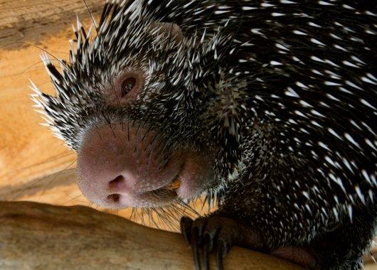 "Prehensile-tailed Porcupine, ""Wilbur"""
