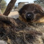 "Two-Toed Sloth, ""Bart"""