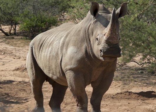 "Southern White Rhinoceros, ""Jericho"""