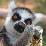 "Ring-tailed Lemur, ""Sedona"""