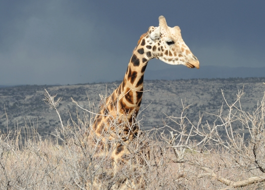 Reticulated Giraffe, Kibo
