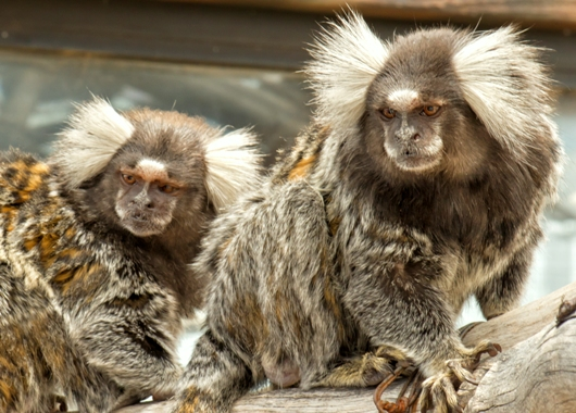 "Marmoset Monkey, ""Jag & Bently"""
