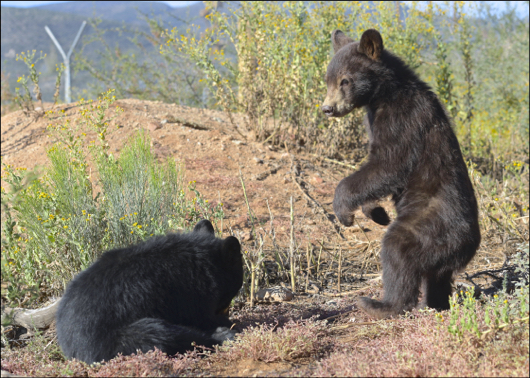 "American Black Bears, ""Mogie"" & ""Blue"""
