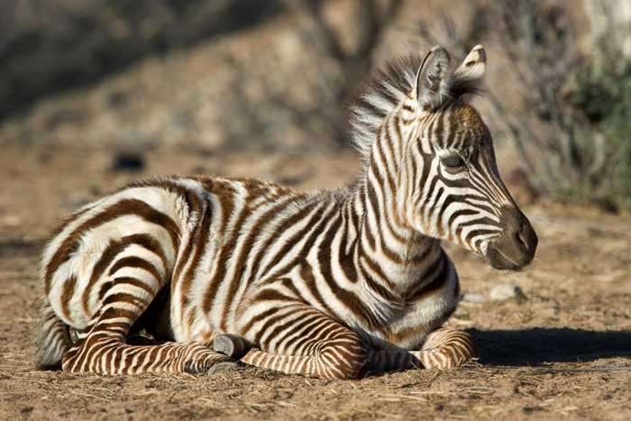 Baby Zebras In Africa Photography Wor...