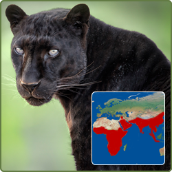 pardus map with Black Leopard Enoch on Stock Image Labrador Retriever Puppy Standing Panting Months Old Isolated White Image30816291 besides Black Leopard Enoch additionally Leatherback Sea Turtle furthermore 6113245244 additionally Royalty Free Stock Images Leopard Front White Background Image10929869.