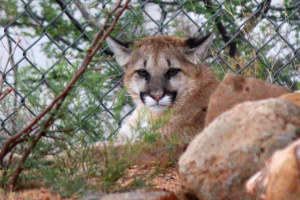 Cougar Picture