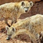 """Spotted Hyena, """"Chipa"""" & """"Chitabe"""""""
